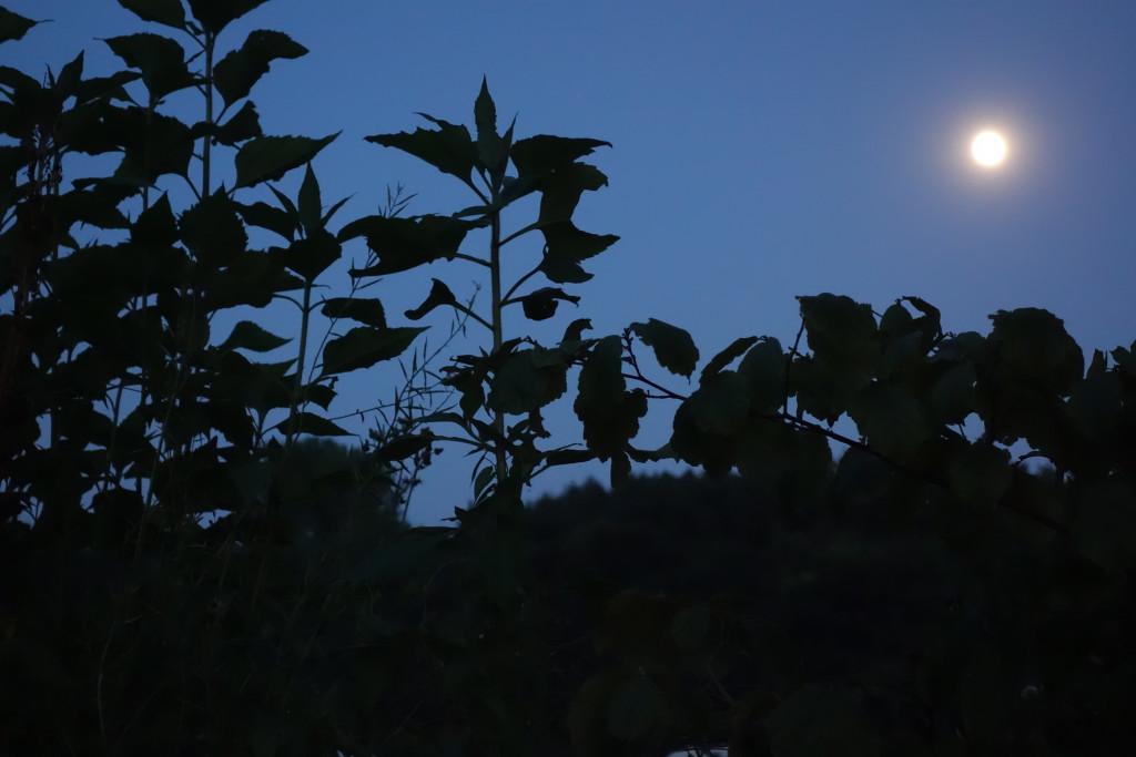 Pleine lune sur végétaux dans jardin DSC01392