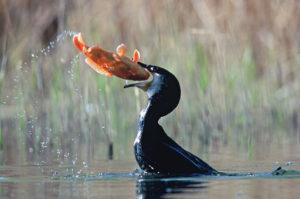 cormoran-poisson2